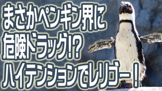 まさかペンギン界に危険ドラッグ!?ハイテンションでレリゴー!